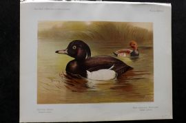 Charles Dixon & Whymper 1900 Antique Bird Print. Tufted Duck